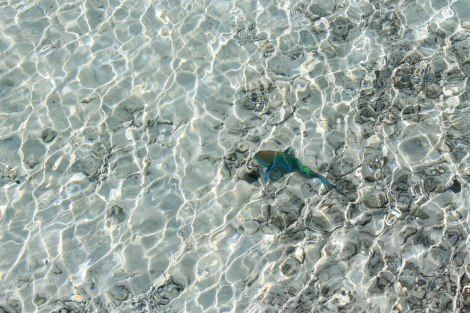 A colorful fish in the shallows.