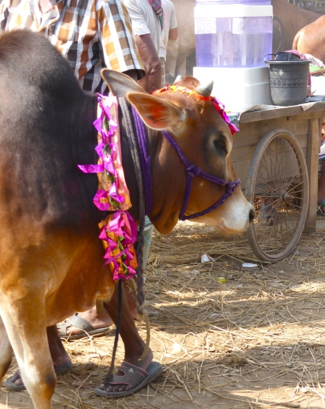 The bulls get decorated for Eid-ul-Adha.