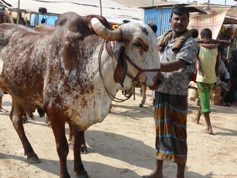 Bull for sale.