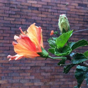 I think it's a hibiscus.