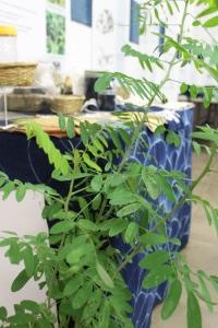 The indigo plant. Tie dye in back.