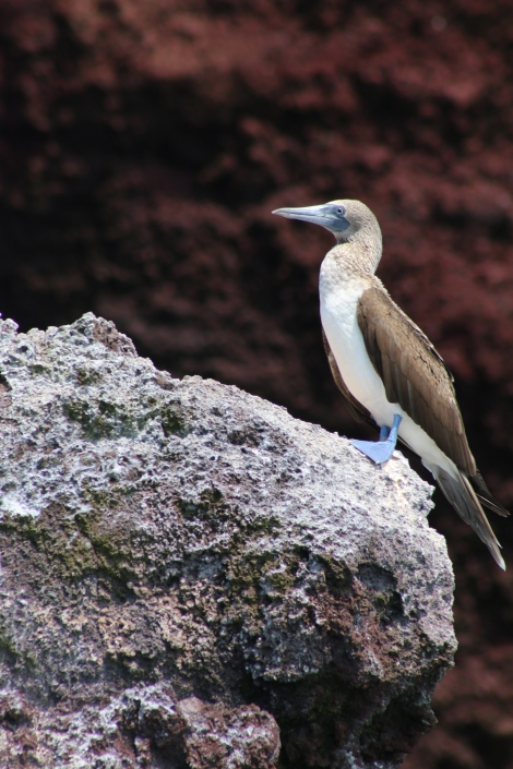 The blue footed boobie.